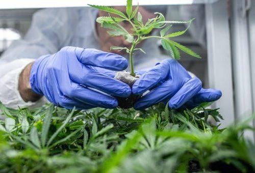 Liberalizzazione della cannabis: la sinistra nasconde i danni alla salute mentale